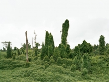Ghost Trees after deforestation, Malaysia 10/2012