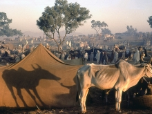 Bullocks for sale, Pushkar fair, Rajasthan, 1974